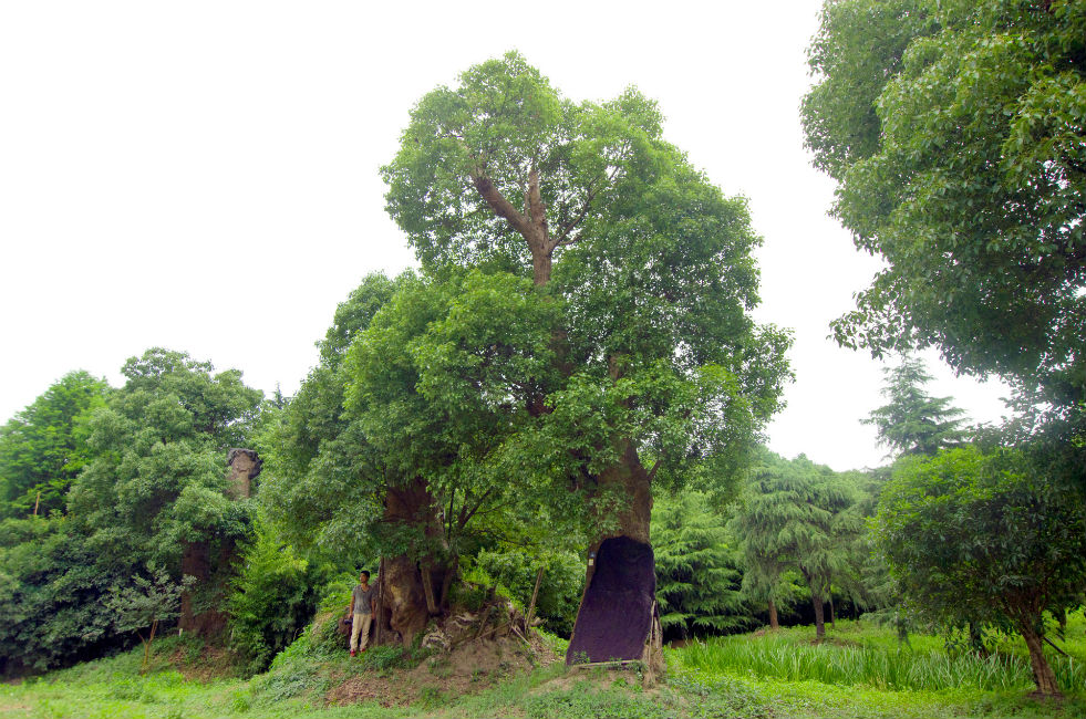 Camphor tree forest